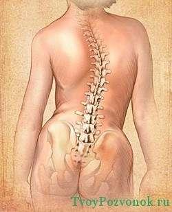строение грудного отдела позвоночника