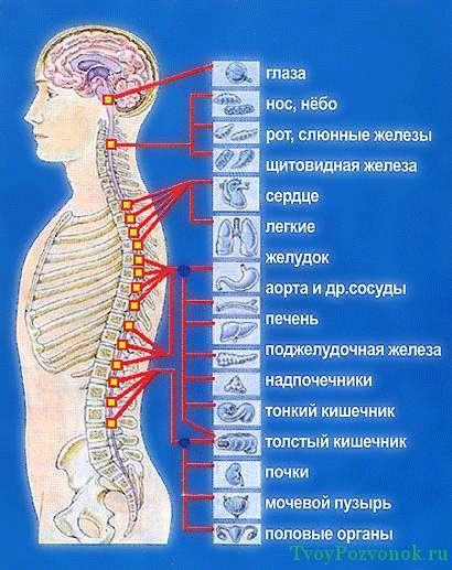 Общая схема зависимости органов и позвонков