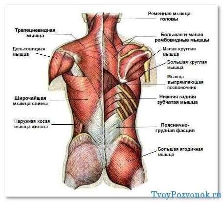 Мышечная система спины