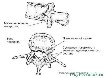 Состав костной ткани позвоночника