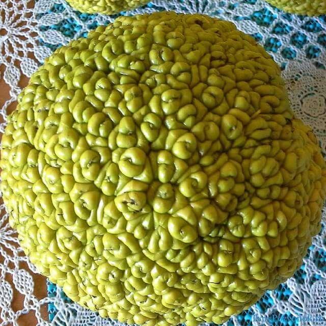 Фрукт с целебными свойствами Маклюра - Адамово яблоко