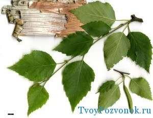 Листья березы - домашний рецепт снижения боли