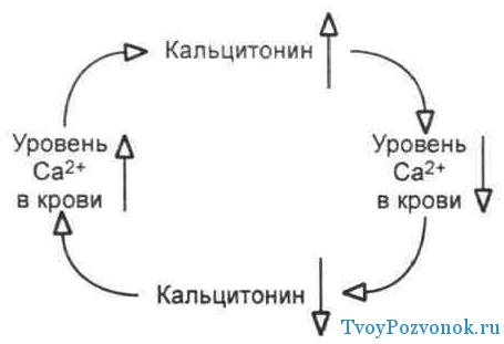 Кальцитонин - действие на организм