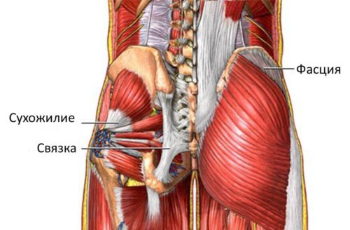 Мышцы, фасции
